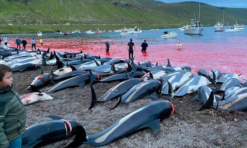 Outcry as Faroe Islands slaughter 1,400 dolphins in a day